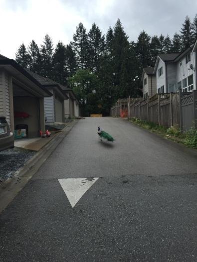 Peacock sighting on the way to Sullivan Heights