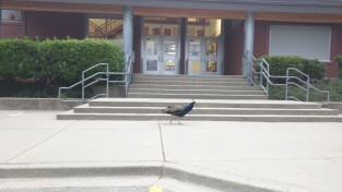 Even our peacocks were excited about school